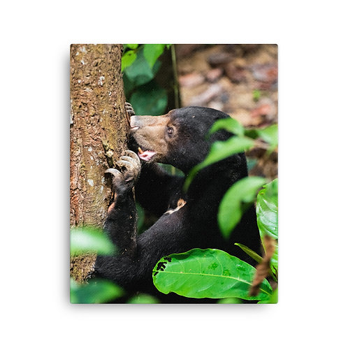 Bornean Sun Bear, Borneo | Canvas