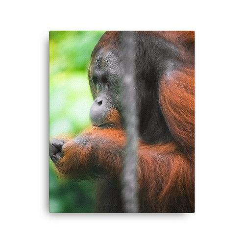Malim - Orangutan, Borneo | Canvas