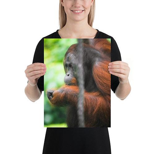 Malim - Orangutan, Borneo | Print