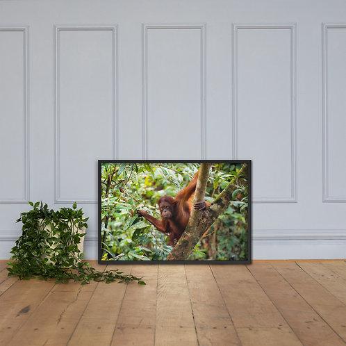 Sepilok - Orangutan, Borneo | Framed