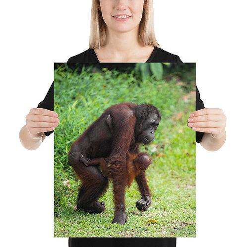Mimi - Orangutan, Borneo   Print