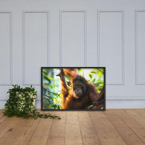 Sepilok - Orangutan, Borneo   Framed