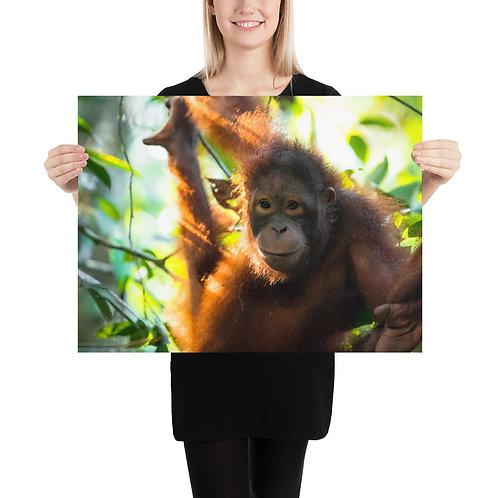 Sepilok - Orangutan, Borneo | Print