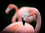 Flamingo Close Up