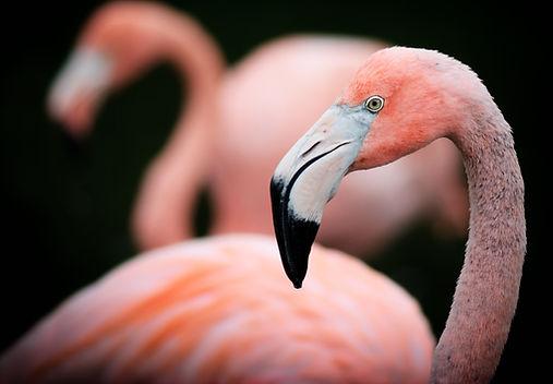 Flamingo Close Up