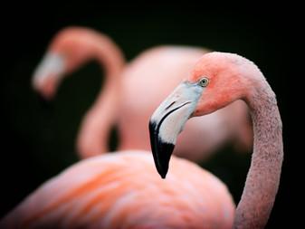 Flamingo que fugiu de zoo há mais de uma década é encontrado vivendo tranquilo na natureza