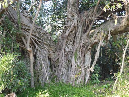 こしきの…今日 ✽町中の大きなアコウの木✽