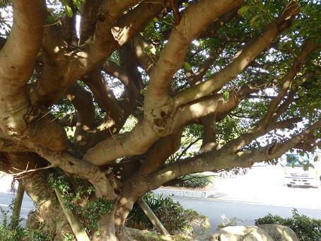 こしきの…今日 ✽あこうの木✽