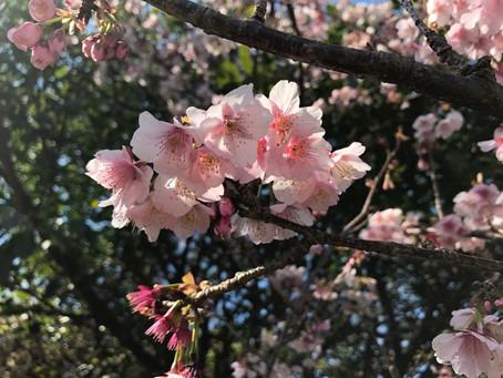 こしきの…今日 * 桜!? 桃!? *