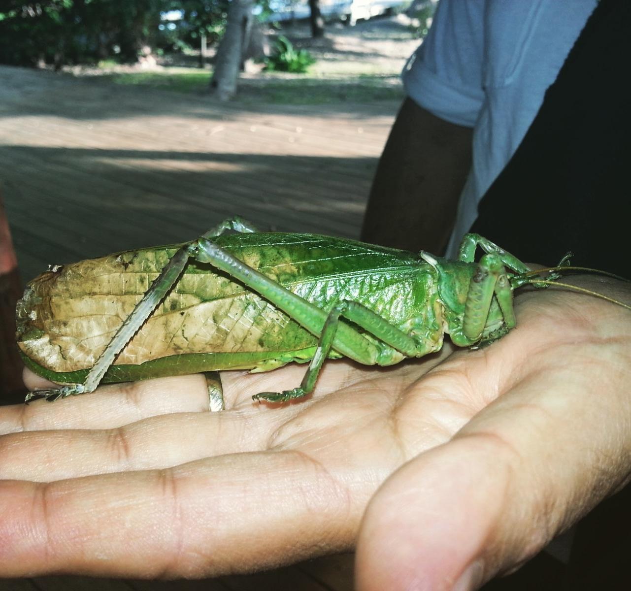 Une sauterelle des cocotiers