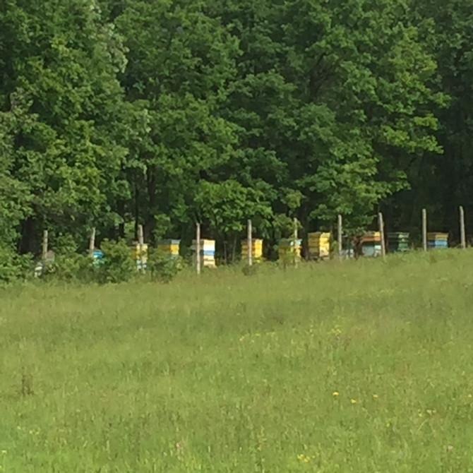 Чудо! Нов рояк пчели на едно от дърветата, точно над пчелина! С помощ от съседа Гошо вече е един от