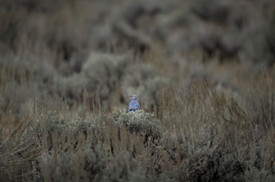 Blue Mountains bird