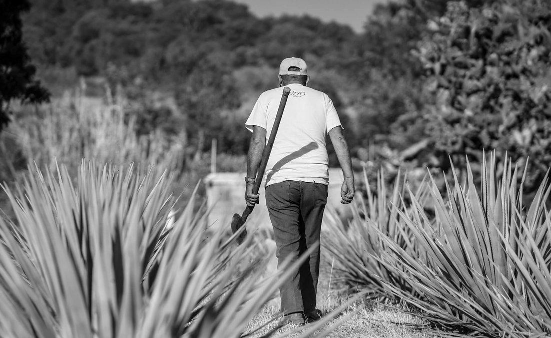 Yeyo Tequila agave fields.jpg