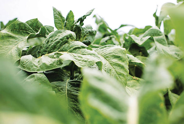 tobacco-leaves.jpg