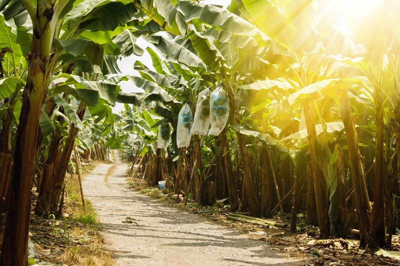 Camino de campo con plantas de banano