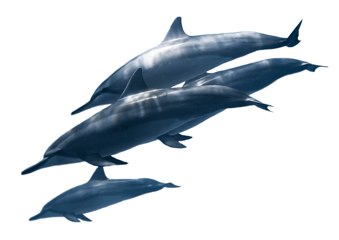 pexels-nick-bondarev-4591713_Dolphin.png