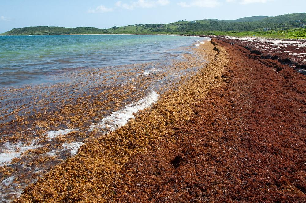 Sargassum beach