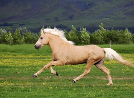 Исландские лошади