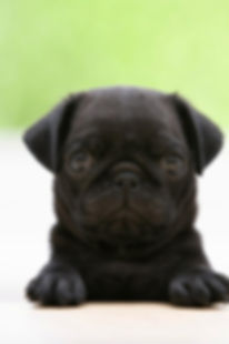 Pug dog puppy with his sitter
