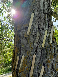 Plain popsicle sticks are tucked into the rough bark of a tree; the sun peeks from behind the tree trunk