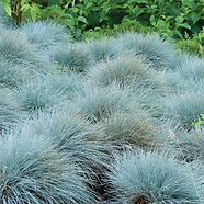 BlueFescue.png