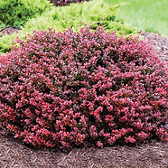 Barberry.png