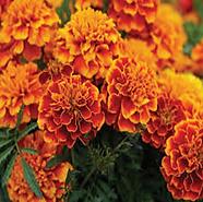 Marigold2x2.png