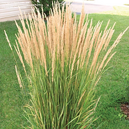 FeatherReedGrass.png