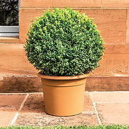 Boxwoods.png
