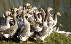 Elevage de canards