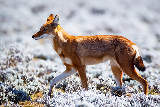 ethiopian-wolf.jpg