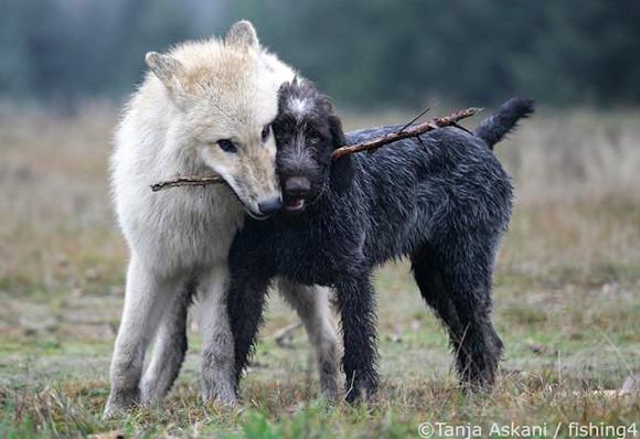 Woof vs Wolf: Why we need to STOP comparing dogs to wolves!
