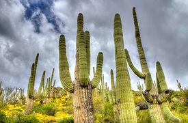 cactusyellowflowersandsky.jpg