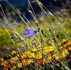 Norway flower