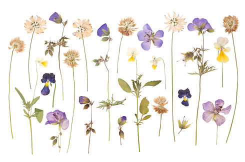 Dry pressed wild flowers isolated on whi