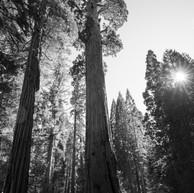 Sequoias in the Spring_digital.jpg