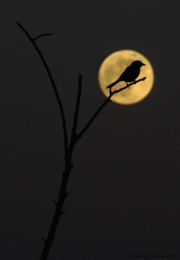 Bird Supermoon(i).jpg