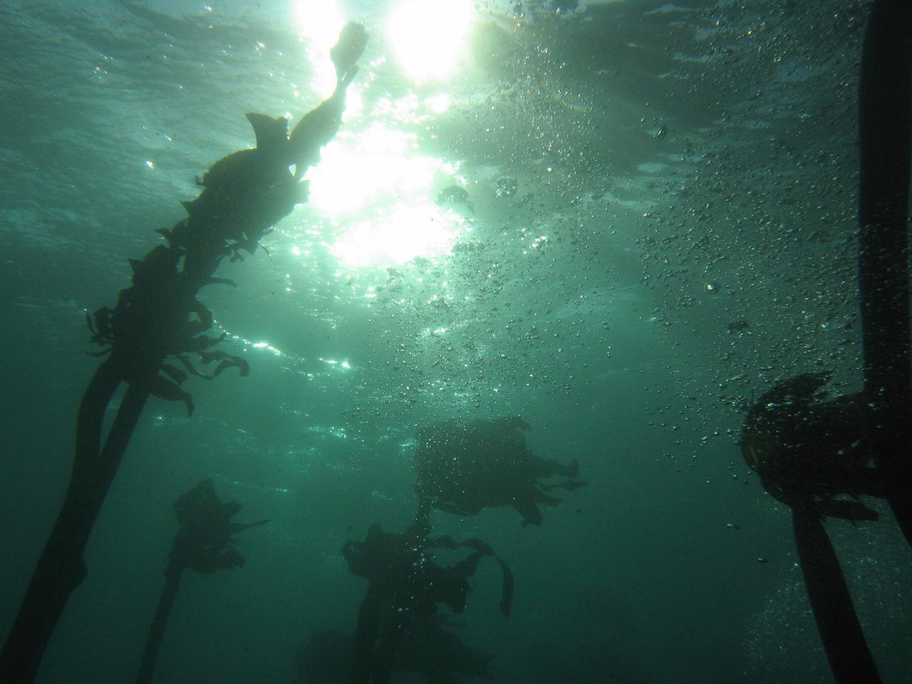 Nelle foreste di kelp