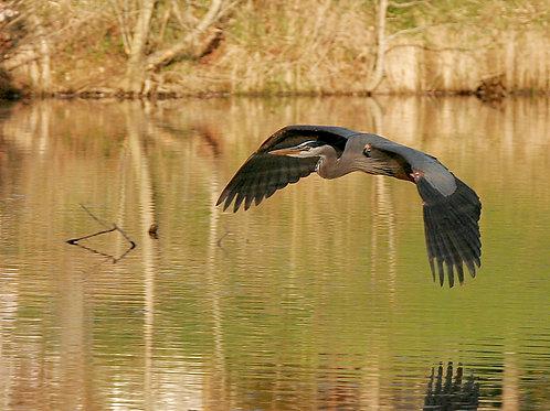 Blue Heron Evening