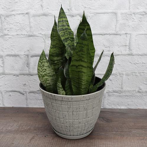 Snake Zeylancia, Rustic Pot