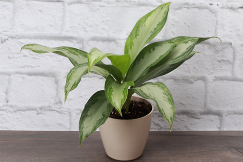Silver Bay Aglaonema, Biodegradable Pot