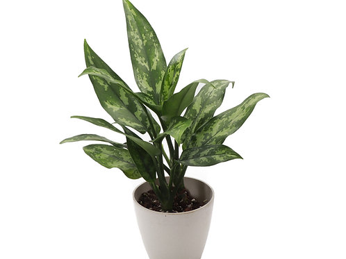 Chinese Evergreen, Biodegradable Pot