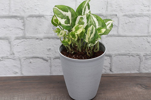 Pothos N'Joy, Farmhouse Pot