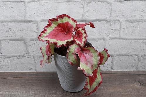 Rex Begonia, Farmhouse Pot