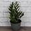 Thumbnail: ZZ Plant, Rustic Pot