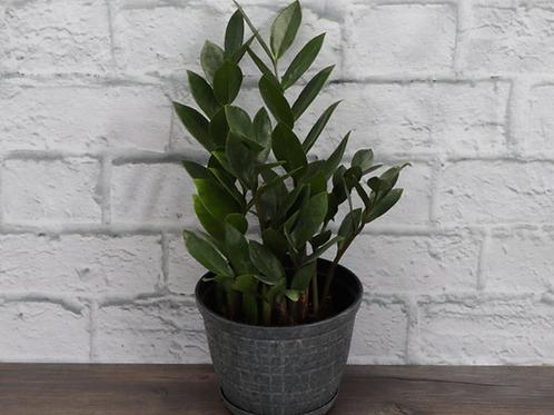 ZZ Plant, Rustic Pot
