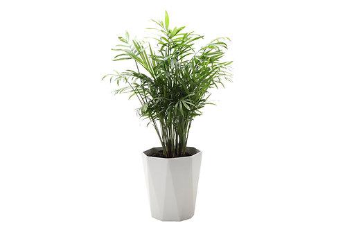 Parlor Palm, Modern Pot