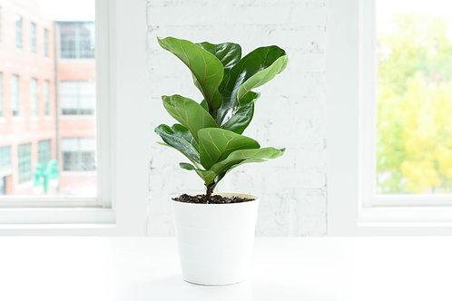 Fiddle Leaf Fig Plant, Contemporary Pot