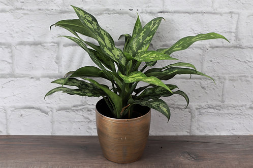 Chinese Evergreen, Gold Holiday Pot