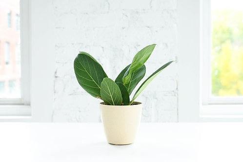 Ficus Audrey, Biodegradable Pot